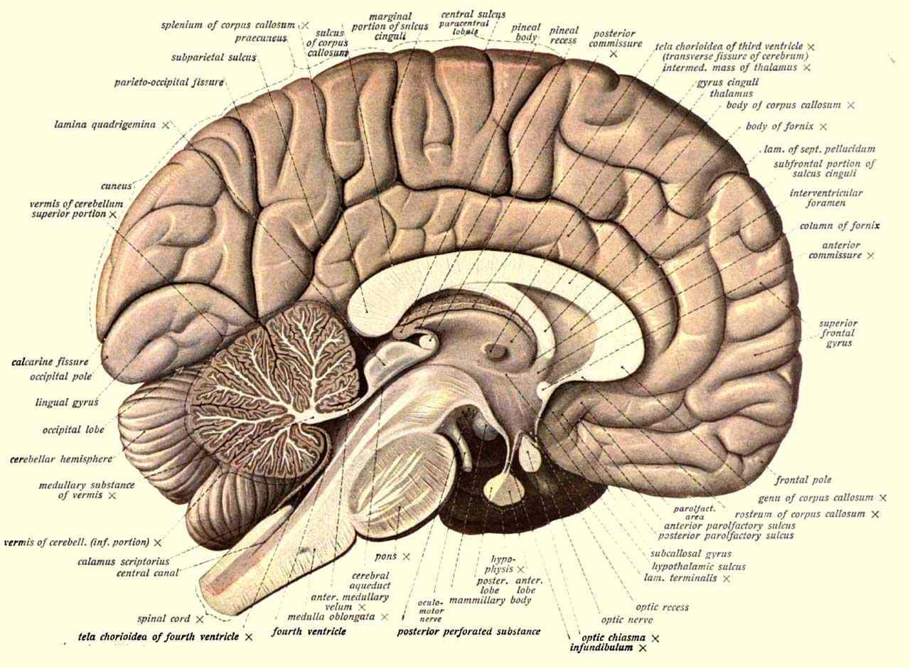 Neuro-anatomi
