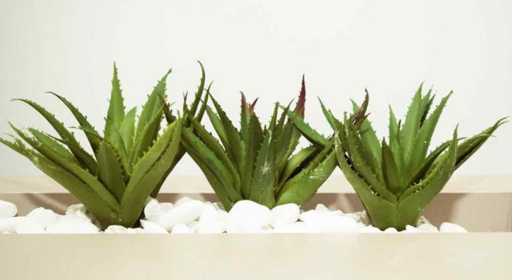 Manfaat Aloe Vera